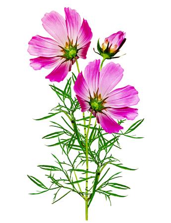 Cosmos flowers isolated on white background photo
