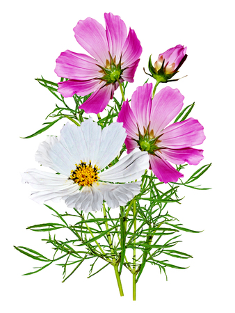 Cosmos flowers isolated on white background Standard-Bild