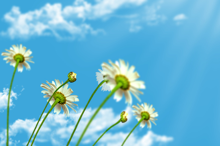 daisy flowers on blue sky background photo