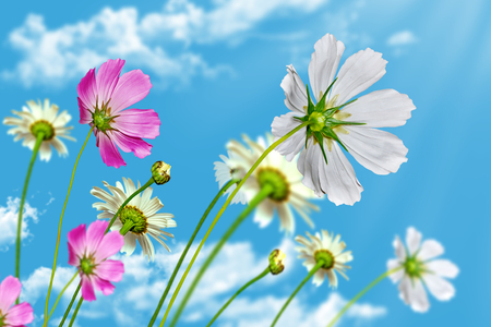 daisy flowers on blue sky background photo