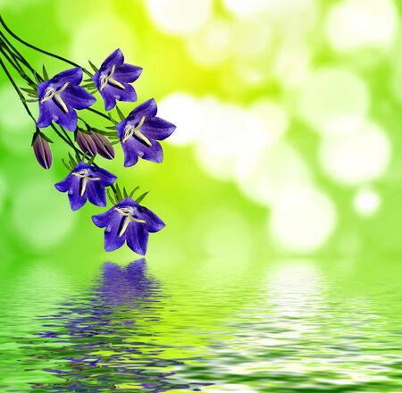 flowers bluebells photo