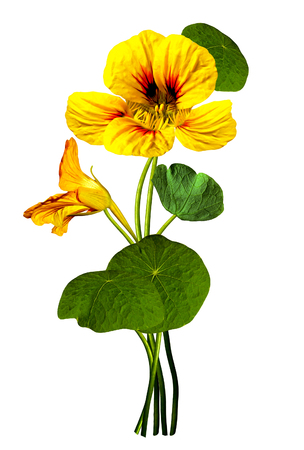 nasturtium flowers isolated on white background photo