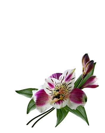 Alstroemeria flower isolated on white background photo