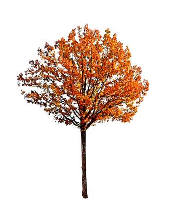 naranja arbol: roble aislado en fondo blanco Foto de archivo