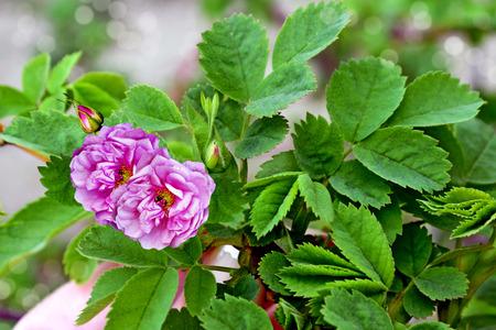 Flowers of dog-rose (rosehip) photo