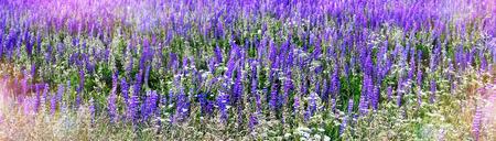 lupine: lupine wildflowers Stock Photo