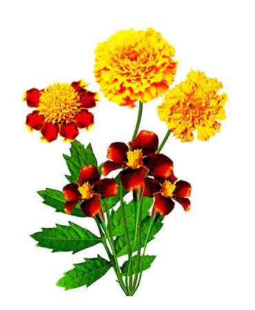 Marigold flowers isolated on white background photo