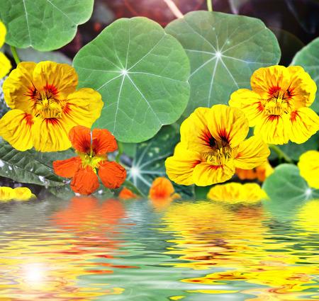 nasturtium flowers photo