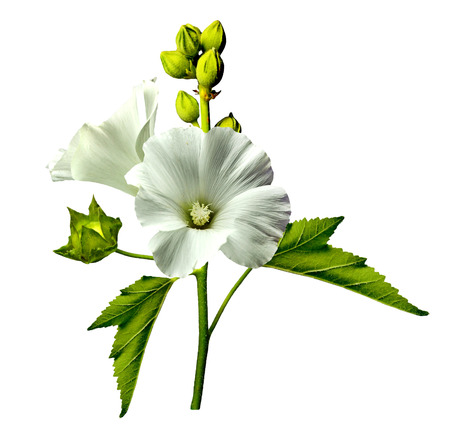 mallow flowers isolated on white background photo