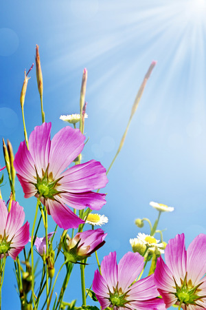 Cosmos flowers on a background of blue sky with clouds photo