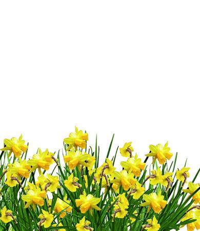 yellow flowers daffodils photo