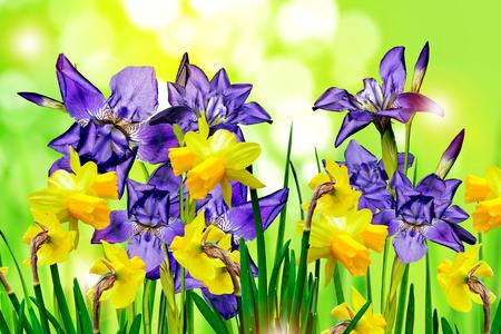irises: flowers irises. narcissus