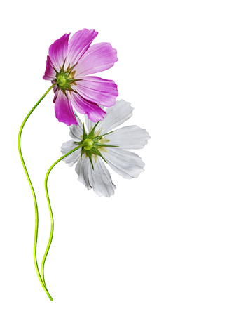 Cosmos flowers isolated on white background photo