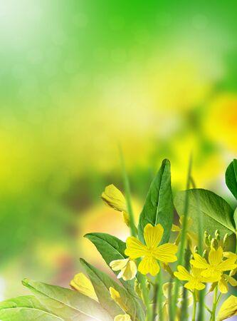 champ de fleurs: Fleurs buttercup terrain. fleur jaune