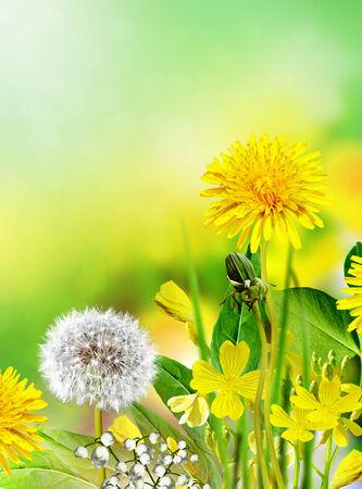 buttercup: Field flowers buttercup. yellow flower