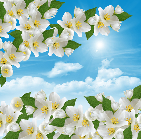 branch of jasmine flowers on a background of blue sky with clouds photo