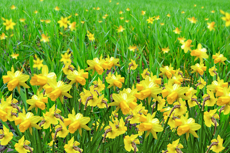 Summer landscape. flowers daffodils photo