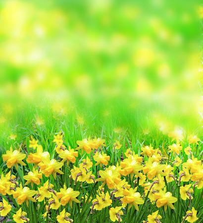 daffodils: Summer landscape. flowers daffodils