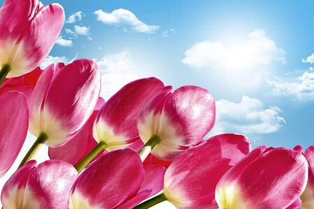 Spring flowers tulips on the background of blue sky with clouds photo