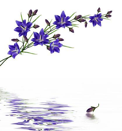 blue flowers campanula isolated on white background photo