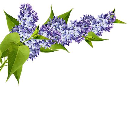 jardines con flores: Rama de flores de color lila aislado en el fondo blanco