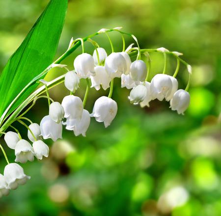 flor de lis: lirio de los valles