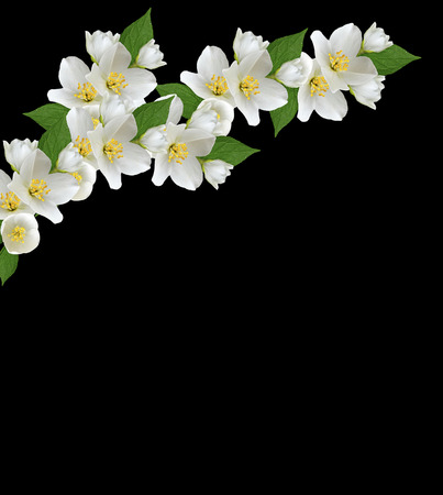 branch of jasmine flowers isolated on a black background
