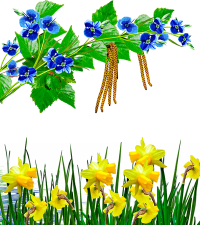 flowers narcissus and forget-me on a white background photo