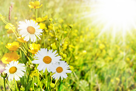 Summer landscape. Chamomile flowers and buttercups photo