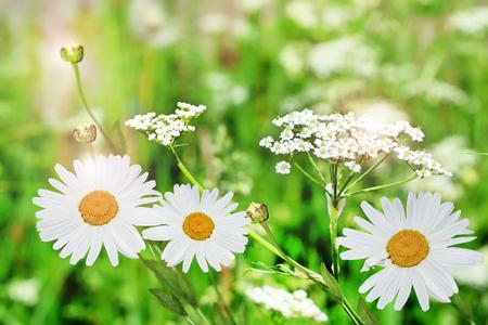 Wildflowers daisies photo