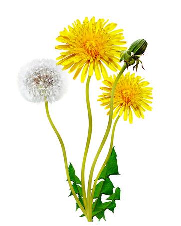 dandelion flowers isolated on white background