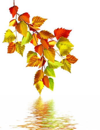 autumn leaves of birch isolated on white background photo