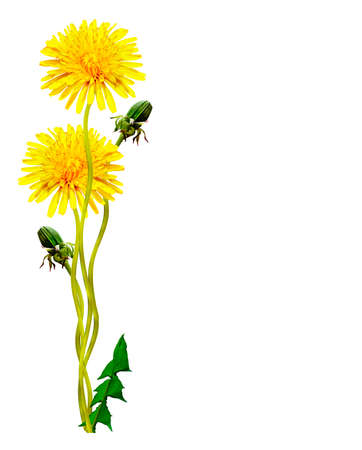 dandelion wind: dandelion flowers isolated on white background