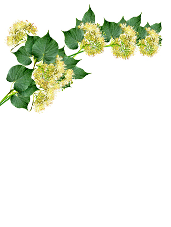linden flowers: branch of linden flowers isolated on white background Stock Photo