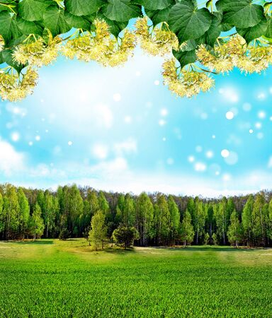 lime blossom: Summer landscape. lime Blossom Stock Photo