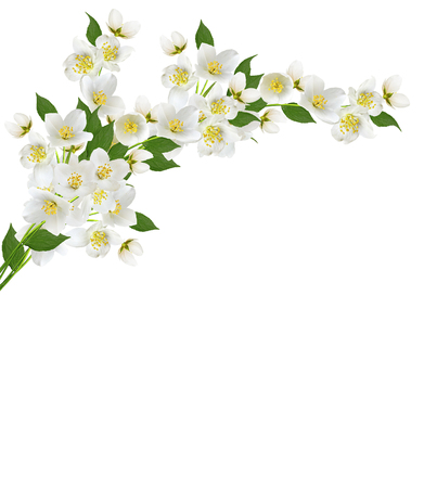 branch of jasmine flowers isolated on white background photo