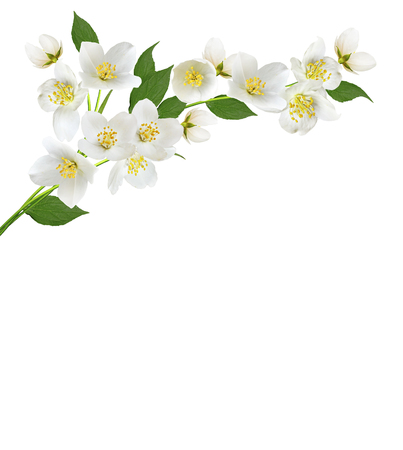 abstract flower: branch of jasmine flowers isolated on white background