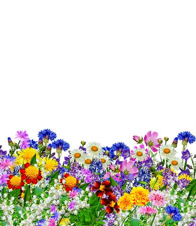 fleurs des champs: fleurs isolées sur fond blanc