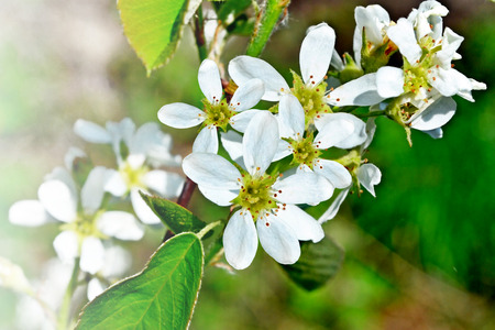 considerable: beautiful blooming branch of bird cherry