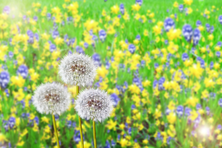 Summer landscape. dandelion photo