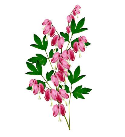hemorragias: rosa flor del coraz�n sangrante. Dicentra Foto de archivo