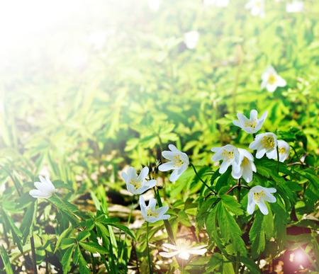 snowdrops: spring landscape. flowers snowdrops