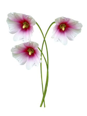 mallow: mallow flowers isolated on white background