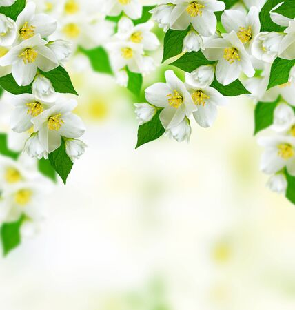 considerable: Spring landscape with delicate jasmine flowers
