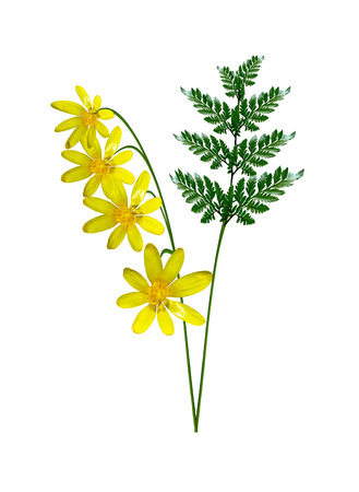 buttercup flower: buttercup flower isolated on white background