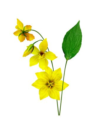 yellow wildflowers: yellow wildflowers isolated on a white background