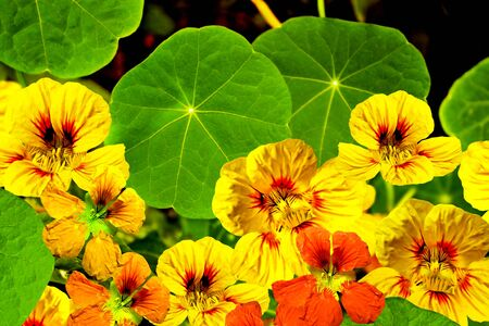 nasturtium flowers photo