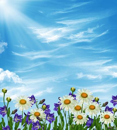p�querette: Fleurs sauvages marguerites Banque d'images