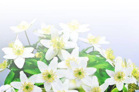 snowdrops: flowers snowdrops