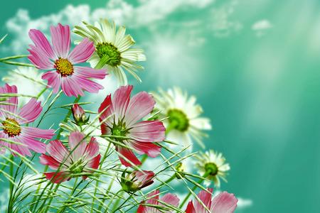 marguerite: fleurs marguerite sur fond de ciel bleu Banque d'images